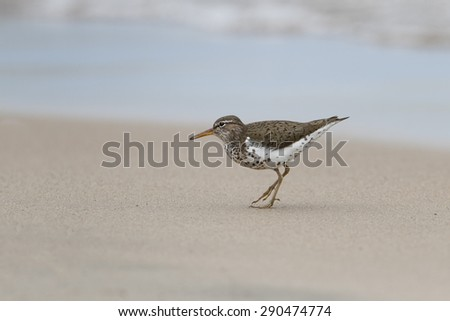 Spotted Sandpiper (Actitus macularius) on a Lake Huron Beach - Pinery Provincial Park, Ontario - stock photo