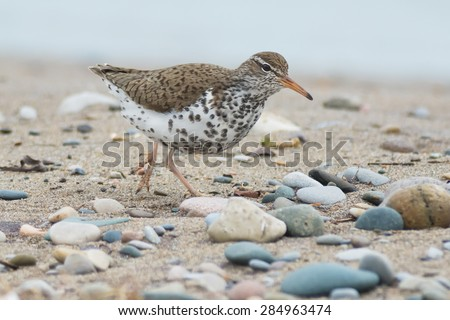 Spotted Sandpiper walking on a stony beach. - stock photo