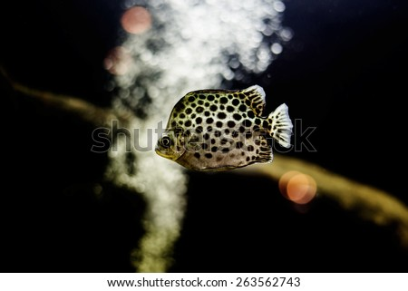 Spotted scat fish, Scatophagidae Thailand,river fish