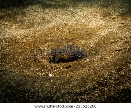 Spotted snake eel - stock photo