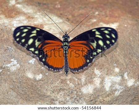 Spotted Tiger Longwing Butterfly - stock photo
