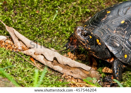 Spotted Turtle - stock photo