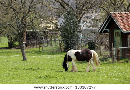 Spotted white-black horse on a pasture