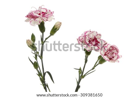 Spray of purple and white carnation flowers and buds isolated against white - stock photo