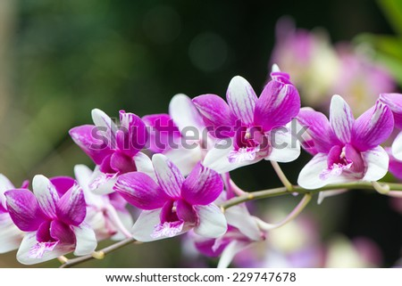 Spray of purple and white cymbidium orchids growing in the botanical gardens in Victoria, Mahe, Seychelles - stock photo