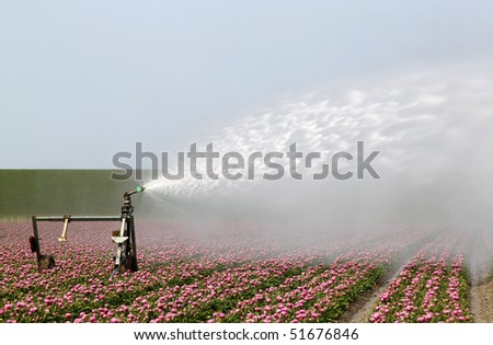 spraying the tulip crop in holland