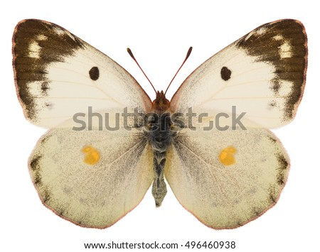 Spreaded female of Berger's clouded yellow (Colias alfacariensis