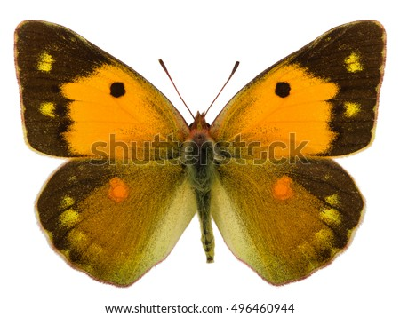 Spreaded female of Dark clouded yellow (Colias croceus) isolated
