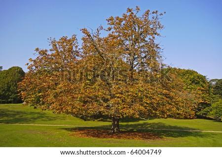 spreading chestnut tree - stock photo