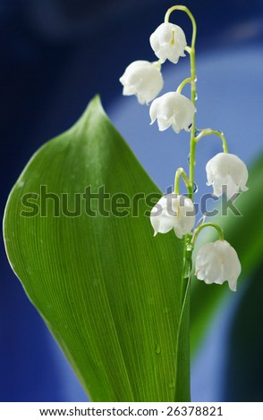 Sprig lily of the valley with leaf on blue background. Shallow DOF. - stock photo