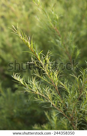Sprig of a Tea tree plant - stock photo