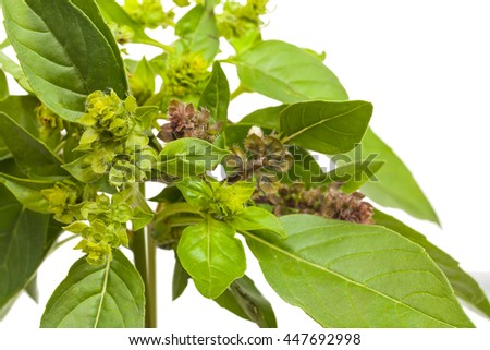 Sprig of fresh green basil with flowers. Isolated on white background. Close-up.