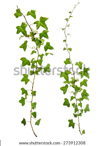 sprig of ivy with green leaves isolated on a white background - stock photo