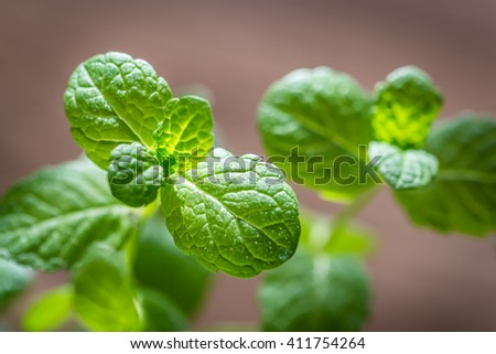 Sprig of mint - stock photo