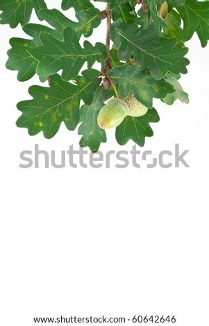 Sprig of oak acorns isolated on a white background - stock photo