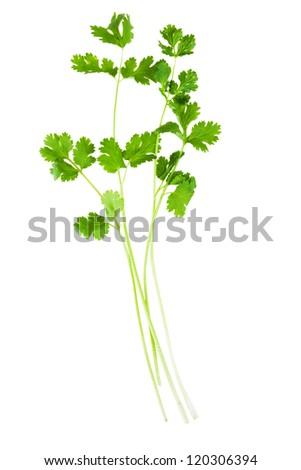 sprigs of cilantro isolated on white background - stock photo