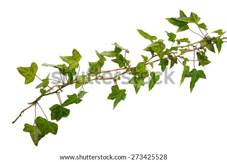 sprigs of ivy with green leaves isolated on a white background - stock photo