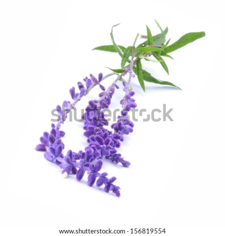 Sprigs of Sage, Blue Salvia, similar in looks to lavender - stock photo