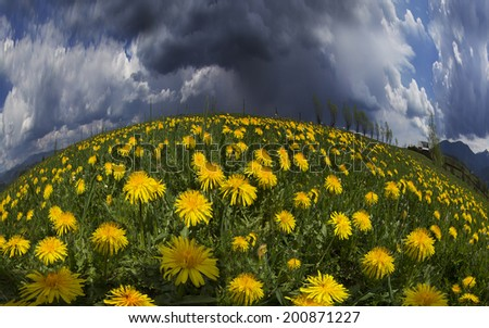 Spring and summer flowers-dandelions under a clear sky with bright clean clouds pleases viewer saturated colors and the freshness of a new day. After the storm and rain especially bright foliage color