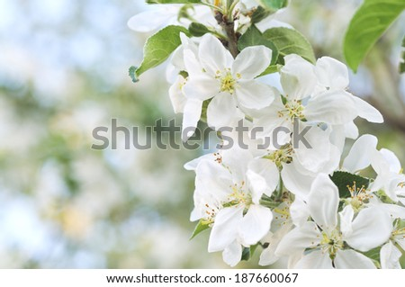 Spring apple blossom selective focus sunny day.