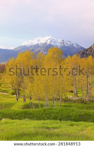Spring aspens in the Utah mountains, USA.