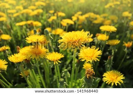 Spring background-dandelion Flowers - stock photo