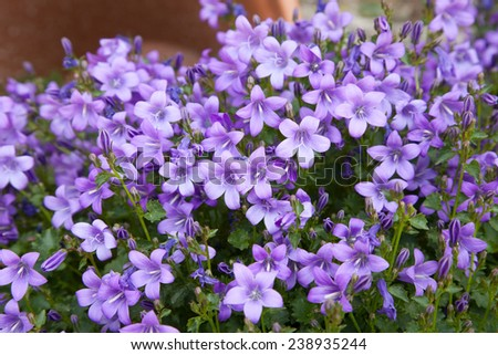 Spring background of blue campanula flowers  - stock photo