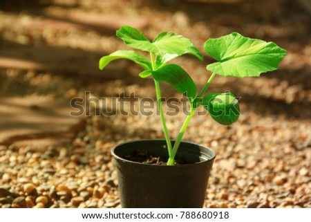 Spring background of new young sprouts pot plant on pebble background.The fresh light green of young leaf of pumpkin contrasting with warm golden brown of pebble color.Light and shadow were shown.