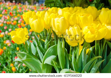 Spring background with beautiful yellow tulips in Keukenhof garden, Netherlands.