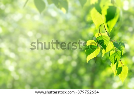 Spring background with birch branches in the sun - stock photo