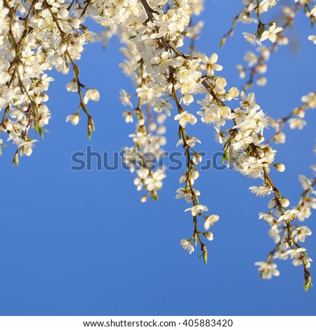 Spring  background with cherry blossom on blue sky