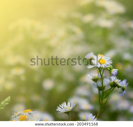 Spring background with field of little chamomile flowers, Daisy flowers - stock photo