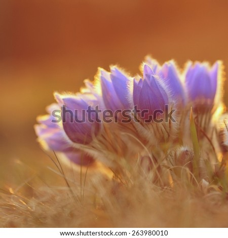 Spring background with meadow and blossoming flowers. Pasque Flowers - Pulsatilla grandis. Fine blurred natural background color.  - stock photo