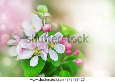 Spring background with white and pink blossom flowers