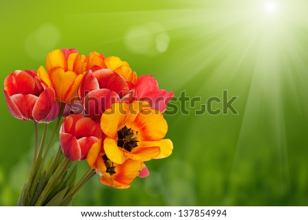 Spring  beautiful tulip flower.Flower holiday card