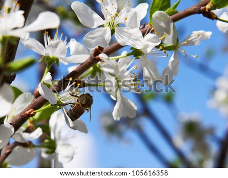 Spring. Bee getting nectar from the cherry tree blossom on a background of blue sky - stock photo