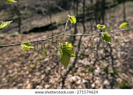 Spring beech  branch with fresh green leaves in a Danish forest - stock photo