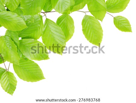 Spring Beech branch with green leaves isolated on white background