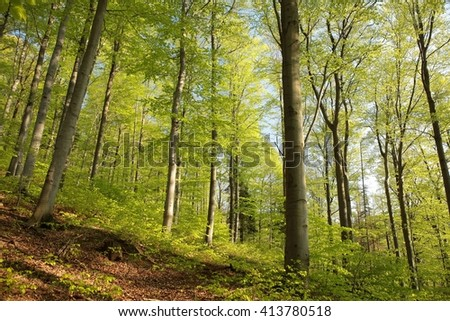 Spring beech forest1. - stock photo