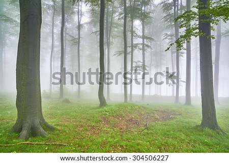 Spring beech forest with mist in the background
