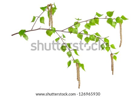 Spring birch branches with leaves isolated on white background - stock photo