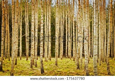 Spring birch environment, textured conceptual image - stock photo