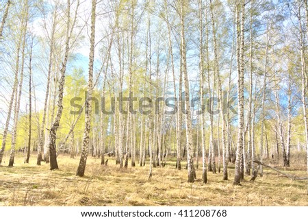 spring birch forest, young foliage