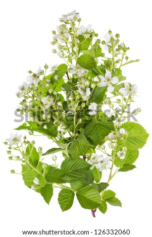 Spring blackberry bush white flowers on branches isolated