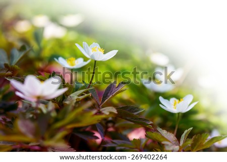 Spring blooming Anemone flowers. Greeting card background - stock photo