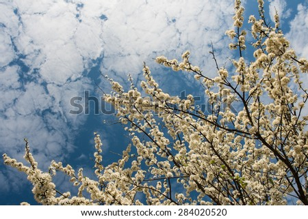 spring blooming apple trees at blue sky background - stock photo
