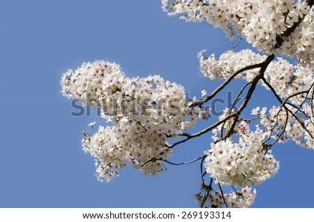 Spring blooming apricot tree flowers against blue sky - stock photo