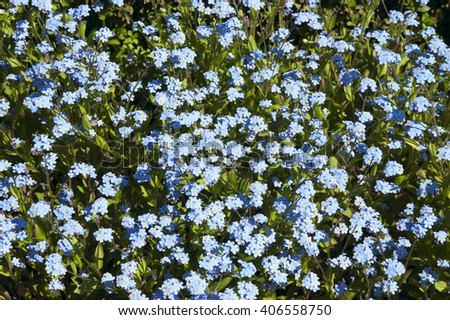 Spring blooming blue forget-me on a bed - stock photo