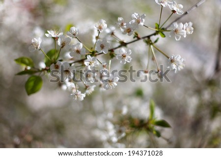 Spring blooming cherry flowers - stock photo