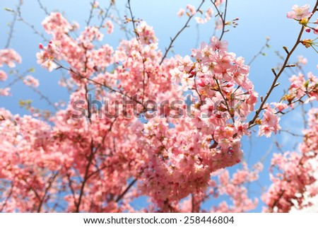 Spring blooming cherry flowers branch with blue sky - stock photo